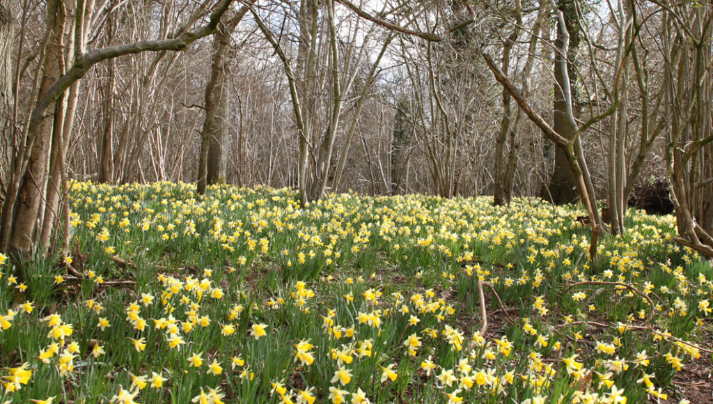 Daffodils, Queenswood Dymock (Chris Harris)