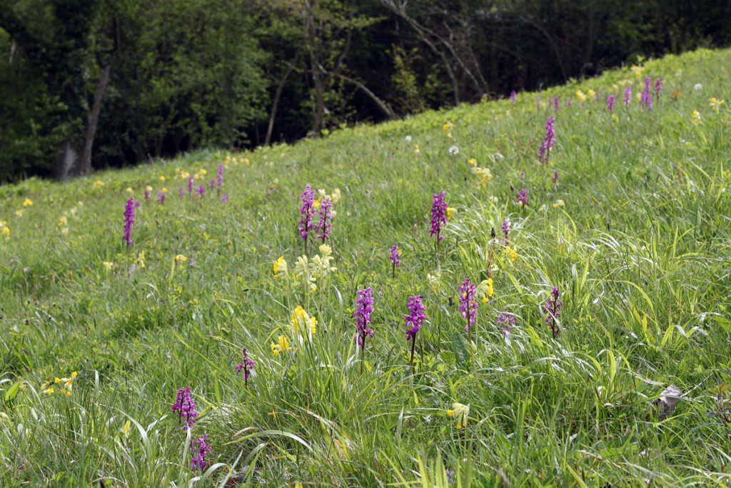 Early purple orchids (Chris Harris)