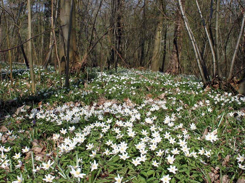 Early Spring Woodland Flowers Ledbury Naturalists